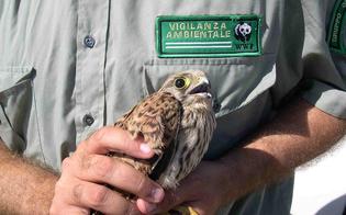 http://www.seguonews.it/serradifalco-gheppio-salvato-dalle-guardie-giurate-ambientali-del-wwf