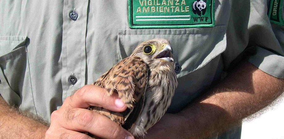 Serradifalco, gheppio salvato dalle guardie giurate ambientali del Wwf