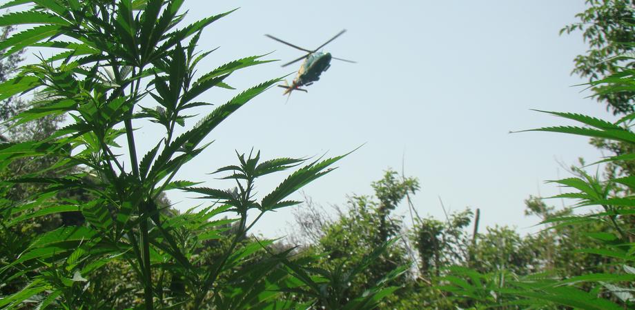 Scoperte tremila piante di cannabis nel Nisseno. Agricoltore denunciato dai carabinieri