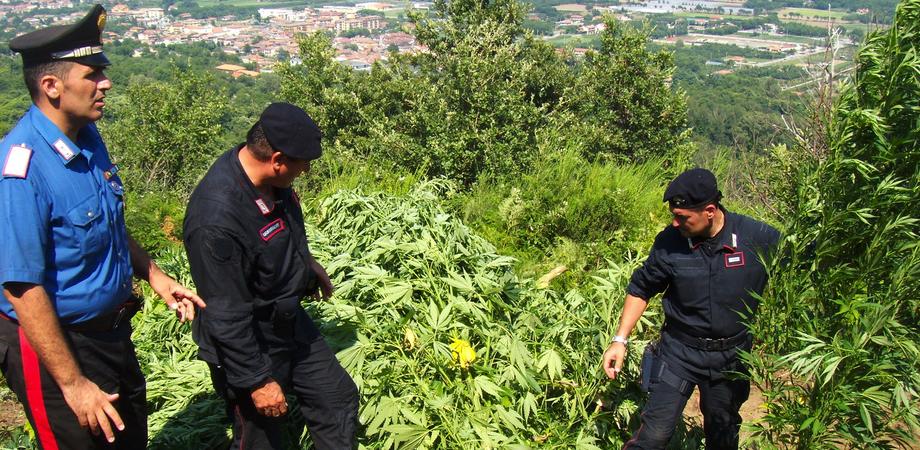 Raccoglievano piante di marijuana. In arresto quattro agricoltori nel Nisseno