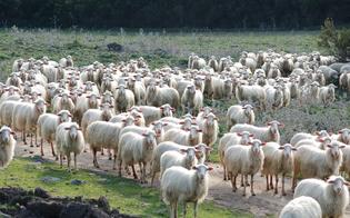 http://www.seguonews.it/chi-le-ha-viste-rubate-195-pecore-da-un-ovile-a-serra-dei-ladroni