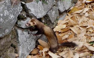 http://www.seguonews.it/cacciava-con-il-furetto-il-corpo-forestale-stana-cacciatore-nisseno