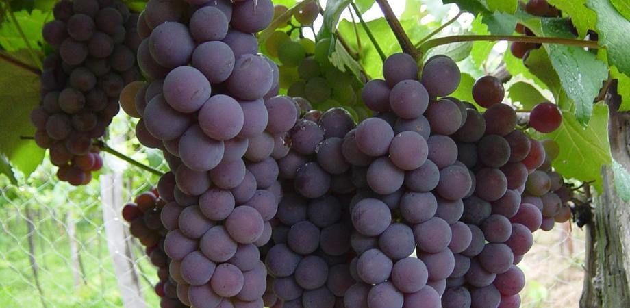 Rififì in un vigneto della provincia nissena, ladro arrestato con due quintali d'uva