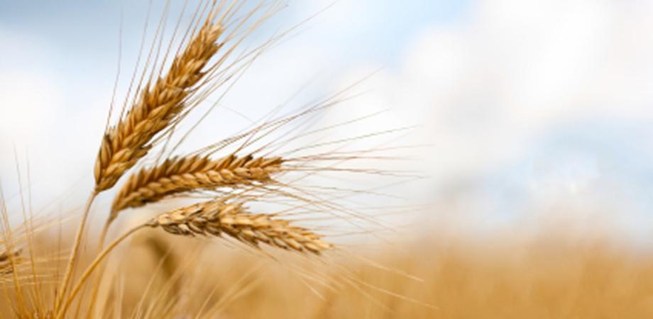 Il sostegno dell'Europa alla filiera cerealicola. Lunedì un convegno dell'Ufficio servizio Agricoltura