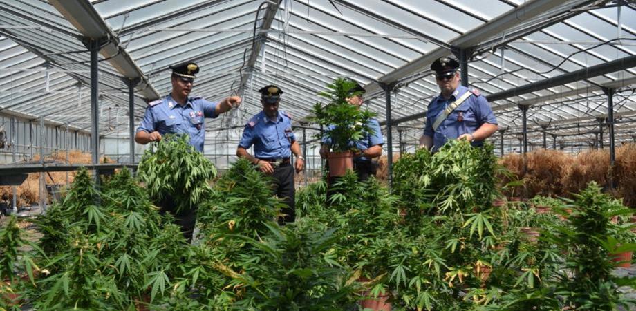 Cannabis, l'oro verde di Sicilia. Microclima ideale, regione in cima per piantagioni illegali