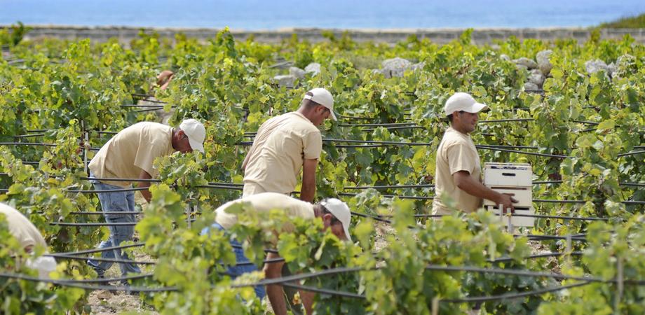 Uva Italia saccheggiata dalle campagne nissene, gli agricoltori mobilitano ronde private