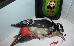 http://www.seguonews.it/doppietta-selvaggia-san-cataldo-ucciso-raro-picchio-wwf-caccia-fuori-controllo-nel-nisseno