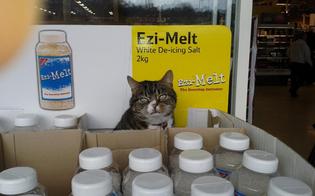 https://www.seguonews.it/mango-gatto-british-anni-vive-in-supermercato
