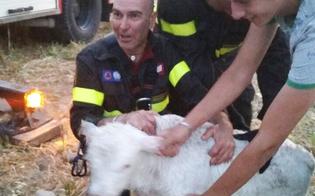 http://www.seguonews.it/salvatore-il-vitellino-che-rischiava-di-annegare-a-imera-tratto-in-salvo-dai-vigili-del-fuoco-di-caltanissetta