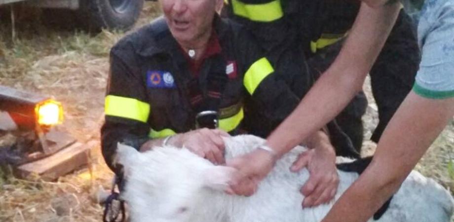 Salvatore, il vitellino che rischiava di annegare a Imera. Tratto in salvo dai vigili del fuoco di Caltanissetta