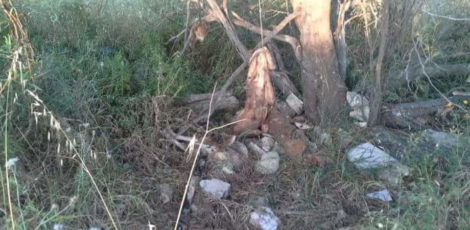 Orrore nelle campagne di Gela. Quattro pitbull impiccati a un albero: forse uccisi dopo lotta clandestina