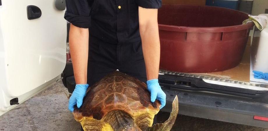 """Pescatore salva al largo di Gela una tartaruga """"Caretta Caretta"""" ferita, presto sarà liberata in mare"""