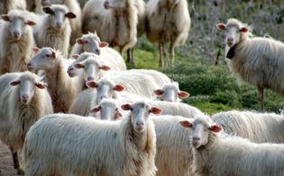 http://www.seguonews.it/gregge-ereditato-e-conteso-tra-pastori-nisseni-la-polizia-interviene-per-riportare-la-calma