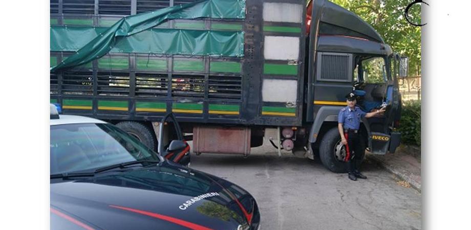 Tentato furto di bestiame a Resuttano. Carabinieri trovano autocarro con 52 vitelli