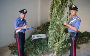 http://www.seguonews.it/scoperta-piantagione-di-marijuana-nel-nisseno-giovane-gestiva-business-da-mezzo-milione-di-euro