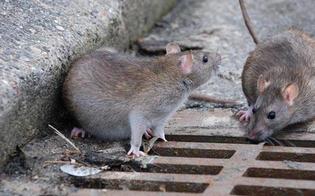 http://www.seguonews.it/san-cataldo-il-m5s-emergenza-ratti-lamministrazione-presto-la-derattizzazione