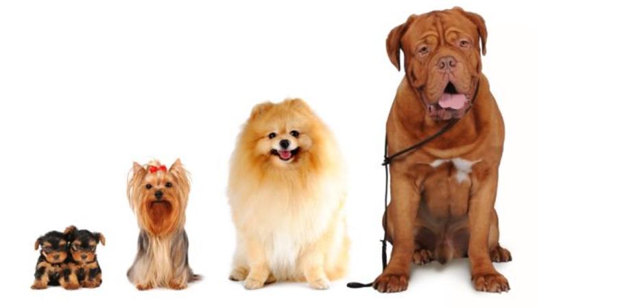 Cani. Denti e alimentazione dei mammiferi che derivano dai lupi