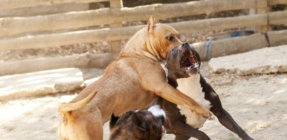 Combattimenti tra Pitbull a Caltanissetta. Condannati due giovani: pagheranno maxi multa