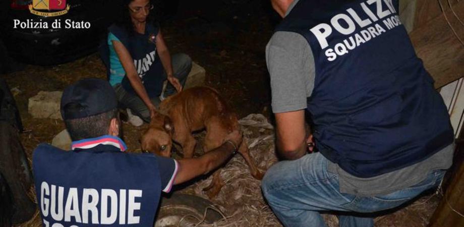 Cani maltrattati e denutriti, allevatore denunciato. Pitbull scheletrico legato con catena