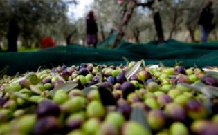 Olio, annata nera in Sicilia. Coldiretti: nel Nisseno calo stimato del 50%