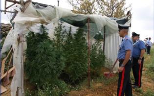 http://www.seguonews.it/san-cataldo-sorpresi-a-coltivare-marijuana-blitz-dei-carabinieri-due-fratelli-in-manette