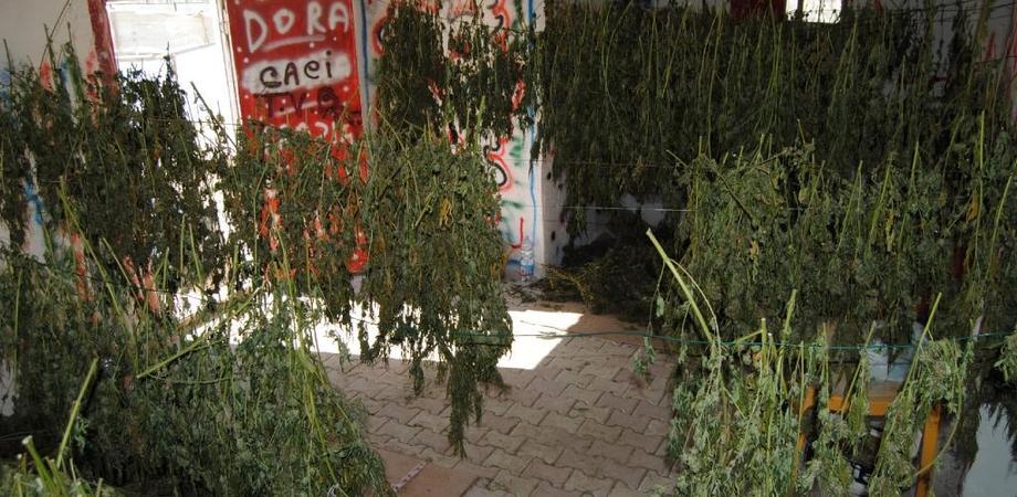 Droga. Cresce l'oro verde nel Nisseno: 70 chili di marijuana sequestrati dalla Polizia, un arresto