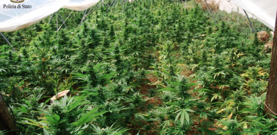 Mille piante di marijuana nella serra di pomodori. Blitz della Polizia nel Nisseno: tre arresti