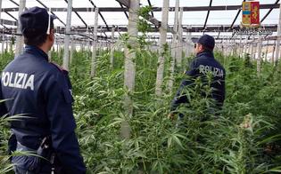 Ad Acate la polizia scopre piantagione di Marijuana di 5000 metri quadri: arrestato un 57enne