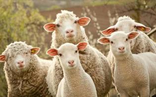 http://www.seguonews.it/mazzarino-furto-pecore-ladri-portano-via-cinquanta-capi-un-ovile