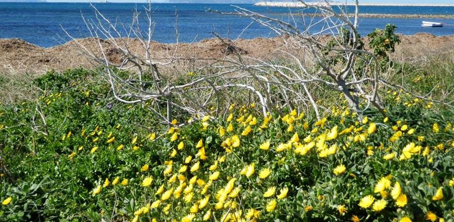 """Al via """"CalMarSi"""", il progetto Life per salvare la Calendula Maritima: l'unico esemplare è in Sicilia"""