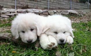 http://www.seguonews.it/caltanissetta-ladri-entrano-un-terreno-portano-via-due-cuccioli-maremmano