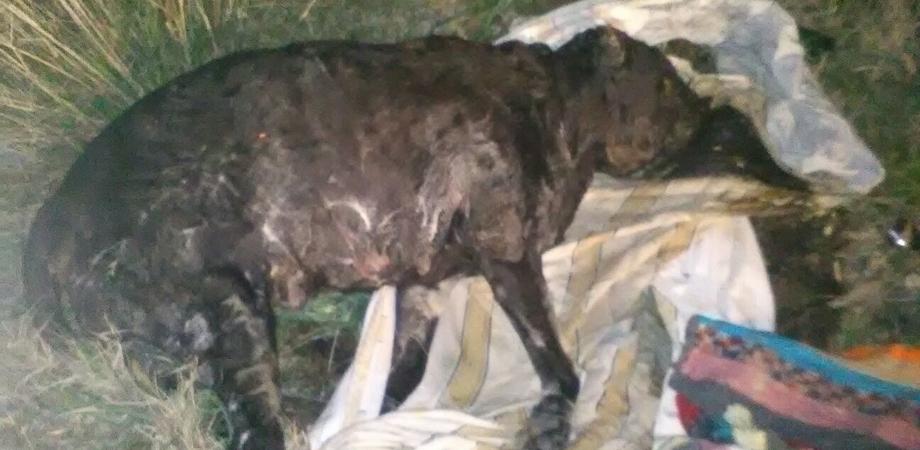 Caltanissetta, orrore a Santo Spirito: pitbull avvolto nel cellophane. Forse usato per combattimenti