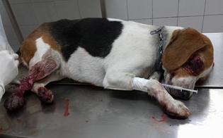 Serradifalco, cane investito e trascinato per diversi metri: l'automobilista fugge senza soccorrerlo