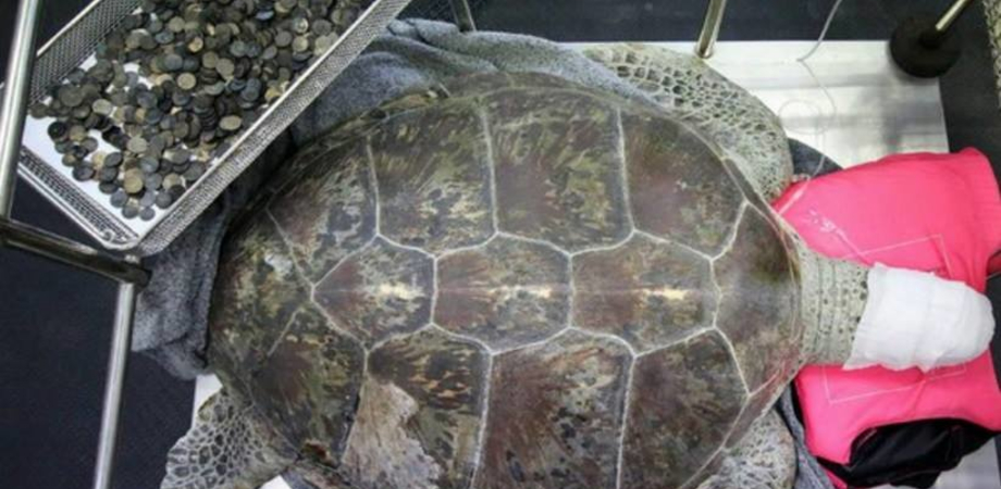 Tartaruga operata allo stomaco: aveva ingerito 5 kg di monete gettate dai superstiziosi