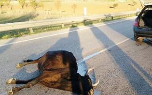 Palermo, due auto investono quattro mucche.  Tra i feriti anche un bambino