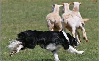 http://www.seguonews.it/caltanissetta-cicpassa-vicino-un-gregge-e-i-cani-lo-azzannano