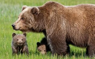 Abbattuta l'orsa KJ2, lacrime e rabbia su internet: