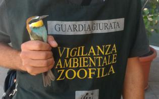 Wwf Caltanissetta, salvati una poiana e un gruccione: denunciato un cacciatore