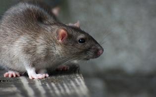 Febbre del topo, i sintomi dell'infezione: 200 casi in Slovenia e uno in Italia