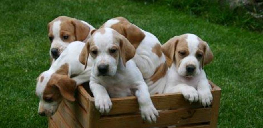 Caltanissetta, furto di cuccioli in contrada Niscima