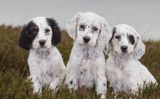 http://www.seguonews.it/nuovo-furto-di-cani-a-caltanissetta-ladri-portano-via-3-setter-inglesi