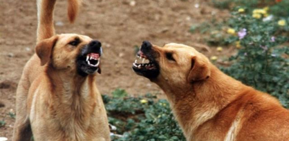 """Cani randagi nei pressi dell'ospedale di Gela. Il Nursind: """"Venga concesso agli operatori il parcheggio interno"""""""