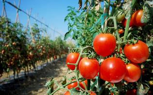 Crisi agricoltura e blocco export pomodoro siciliano verso il Canada. M5S: Musumeci intervenga con il Ministero