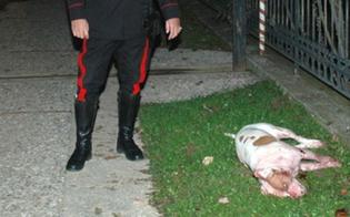 http://www.seguonews.it/pastore-di-gela-sevizia-e-uccide-due-cani-randagi-colpevoli-di-aver-ucciso-un-suo-capretto