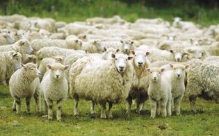 https://www.seguonews.it/antibiotici-alle-pecore-senza-visita-veterinaria-a-scordia-sequestrato-un-intero-allegamento