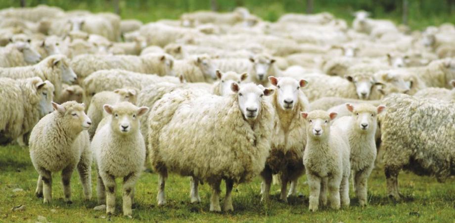 Con le proprie pecore avrebbe perseguitato un imprenditore, a giudizio un pastore di Gela