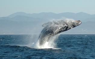 http://www.seguonews.it/il-mare-delle-eolie-continua-a-dare-spettacolo-capodoglio-di-15-metri-avvistato-a-filicudi