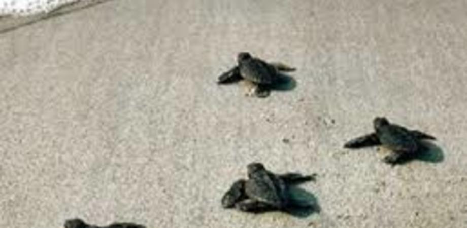 Gela, rinvenuto sul litorale un nido di tartarughe