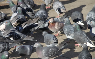 http://www.seguonews.it/a-delia-crescita-incontrollata-dei-piccioni-il-sindaco-bisogna-intervenire