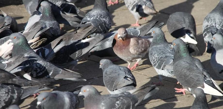 """A Delia crescita incontrollata dei piccioni, il sindaco: """"Bisogna intervenire"""""""